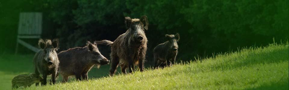 Wild-boars, Pilisi Parkerdő